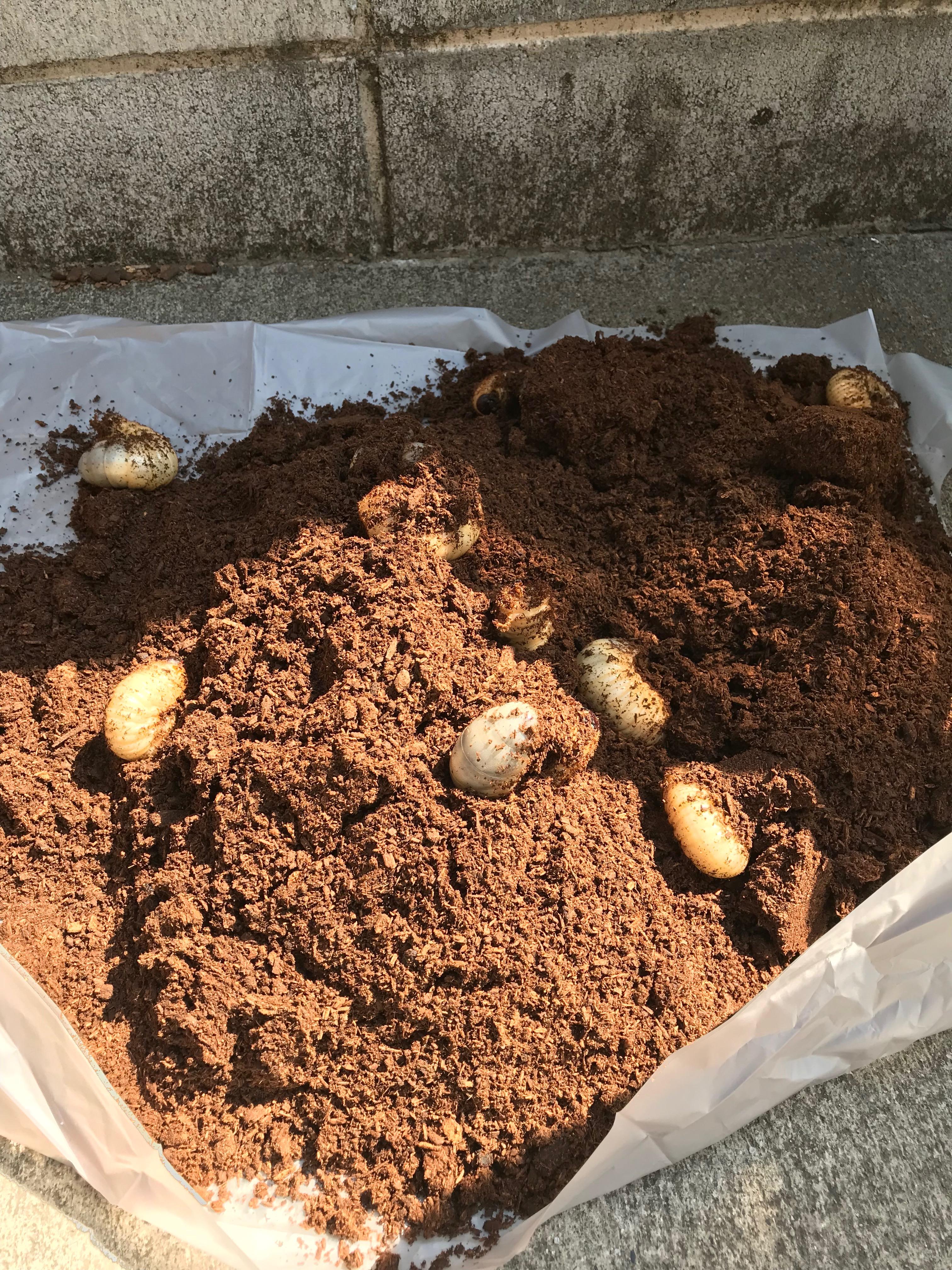 カブトムシの幼虫を28匹育てた!卵〜成虫の飼育スケジュールと必要グッズ